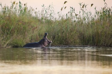 Hippo yawning in the Okavango Delta