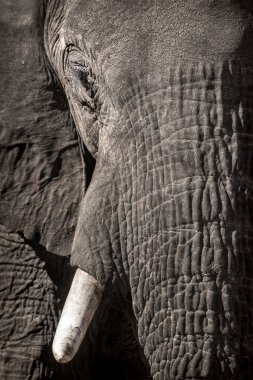 Close up of Elephant head stock vector