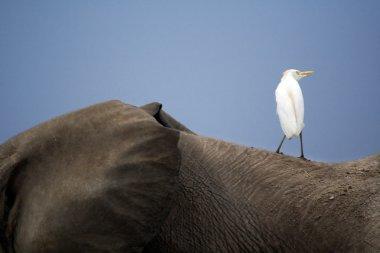 Bird on an elephant's back