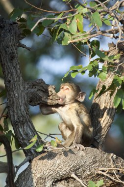 Monkey on the tree in Zimbabwe