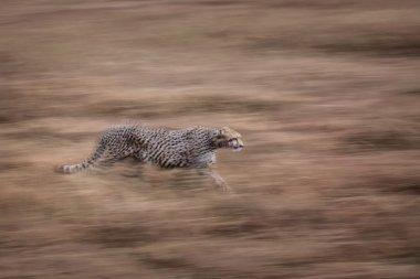 Cheetah move