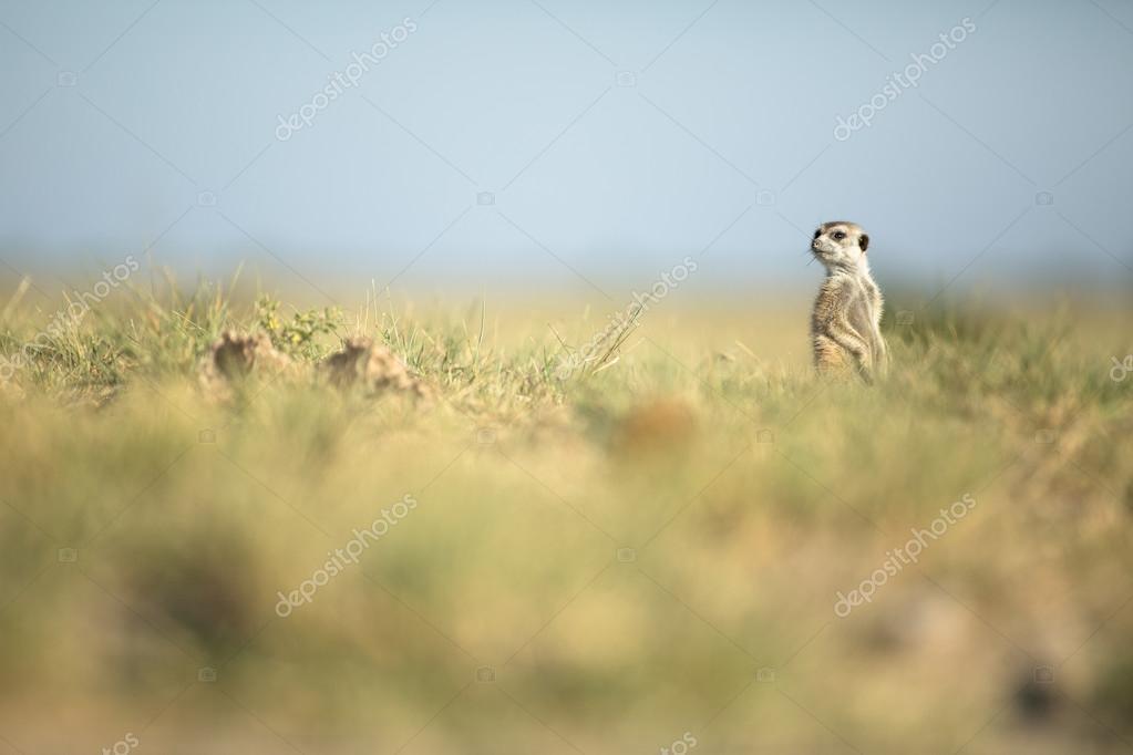 Meerkat in veld
