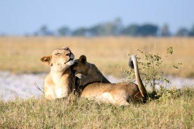 Lion in African savanna
