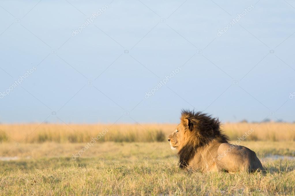 Секс львов в африканской саванне разделяю