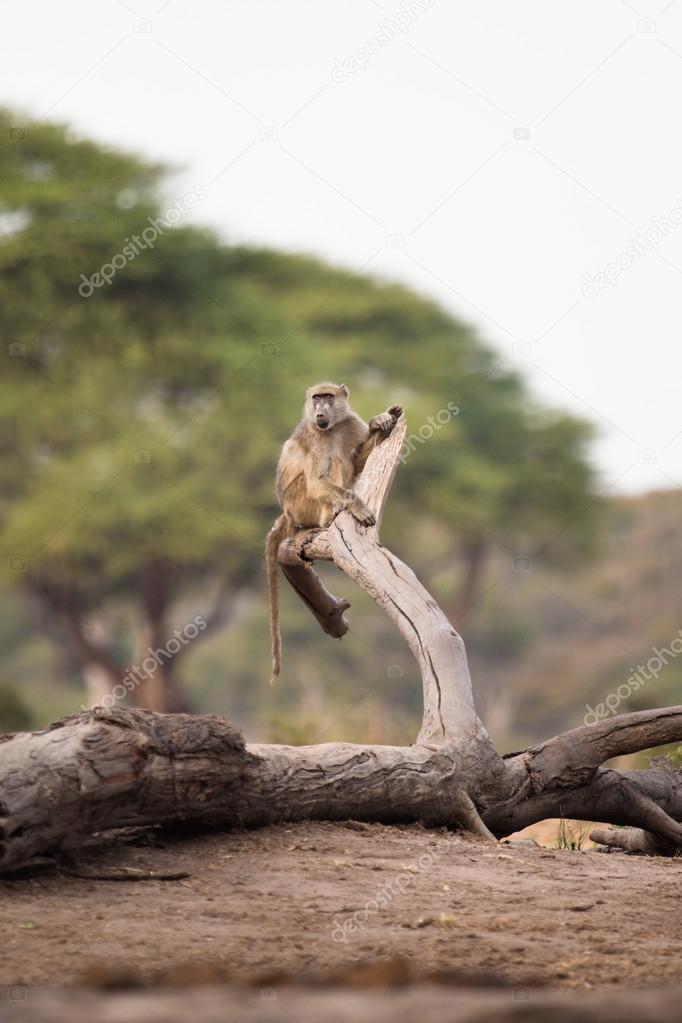 Baboon in tree