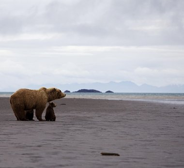Mother bear with two baby bears on Alaska