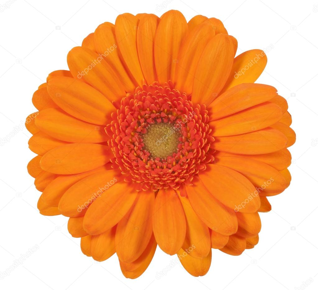 Single Orange Gerbera Flower Isolated On White Background Stock