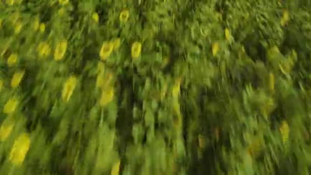 Aerial view of a sunflower field on a sunny day in summer.