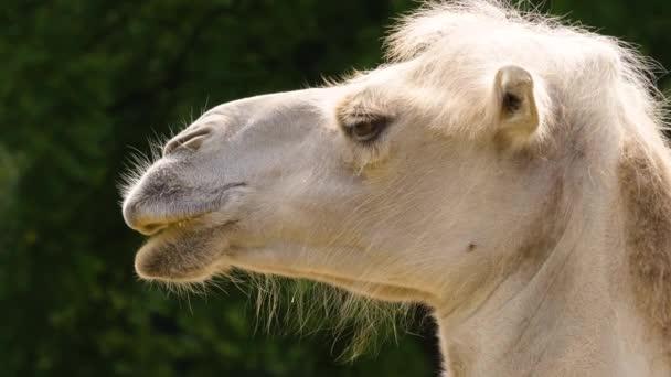 Nahaufnahme Weißer Kamelkopf mit lustigem, verschwommenem Haar, das seine Lippen bewegt