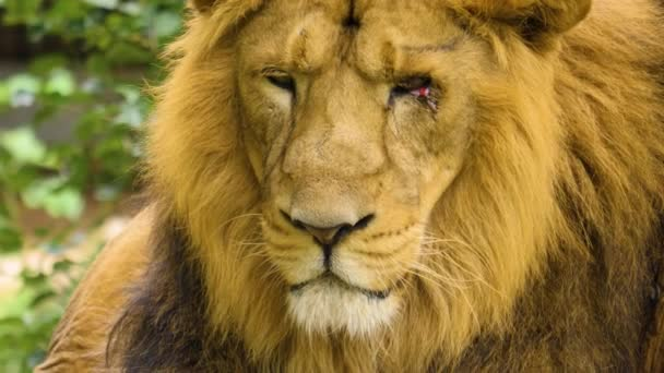 Close up of head of male lion with eye injury.