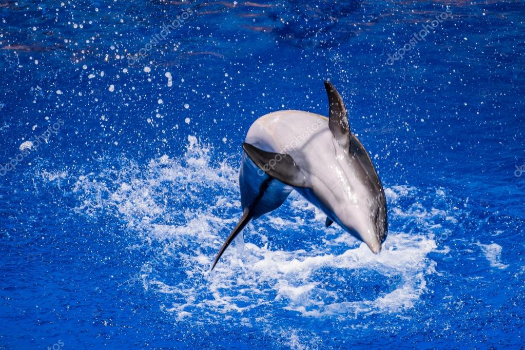 Dolphin jumping into the water