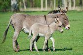 Donkey (Equus africanus asinus)
