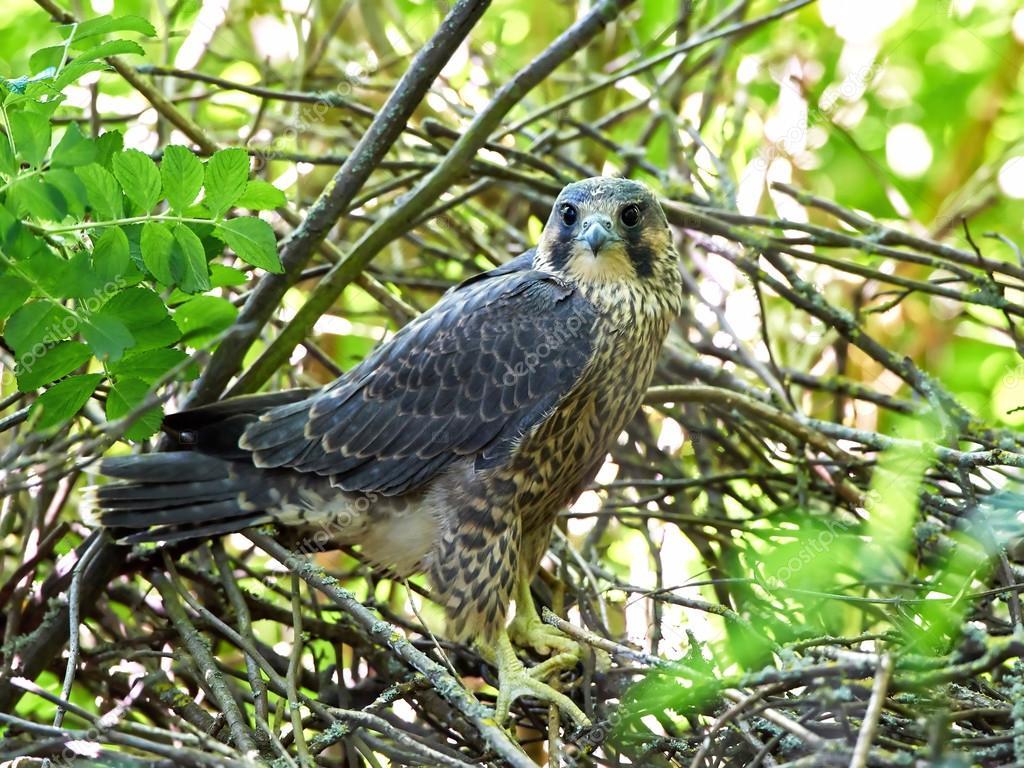 Peregrine Falcon: açıklama ve fotoğraf 28