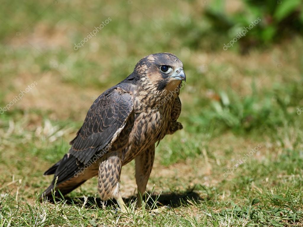 Peregrine Falcon: açıklama ve fotoğraf 96
