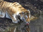 tigre dellAmur (panthera tigris altaica)