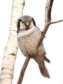 Gufo nordico falco (surnia ulula)