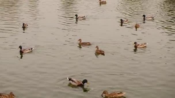 Odpočiň si a projdi se v parku. Krmení kachen v městském jezeře. V jezeře plave mnoho kachen.
