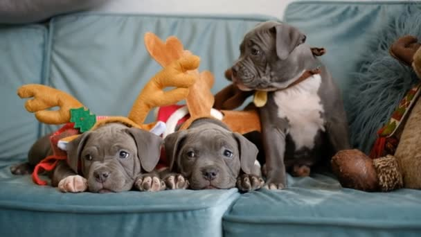 American Bully puppies lie on the couch before Christmas. Bully puppies in smart hats.
