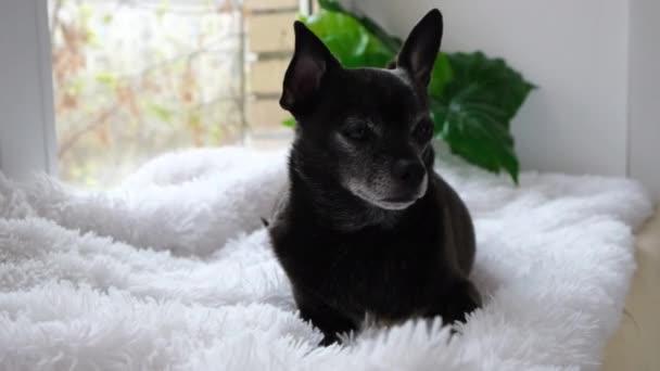 Egy fekete csivava éhes kutya fekszik otthon egy bolyhos fehér szőnyegen, nyalogatja az ajkait és lenyeli a nyálat, vár az etetésre, enni akar. Állateledel, táplálkozás és étrend koncepció. 4k. Lassú mozgás..