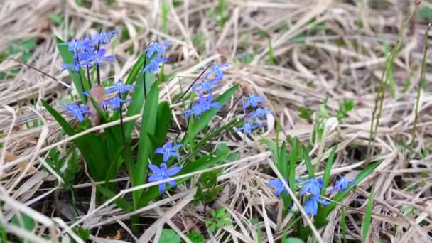 Scilla siberica or blue snowdrops are swaying in the wind on a spring day. Beautiful and delicate blue flowers