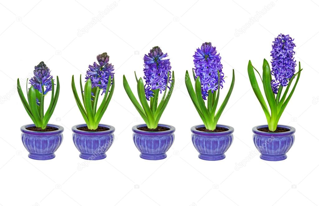 purple hyacinth flowers in different stages of growth with no background u2014 stock photo