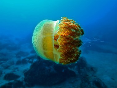 Underwaterphoto of a Jellyfish on scuba dive around Phi Phi Islands in Thailand