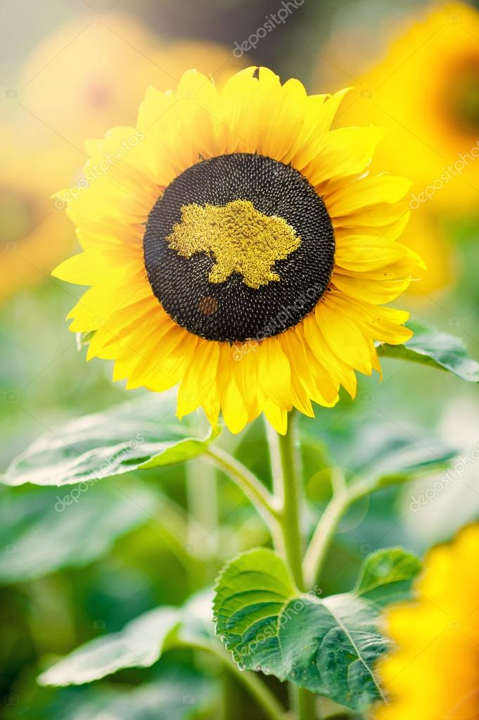 Sunflower with a map of Ukraine