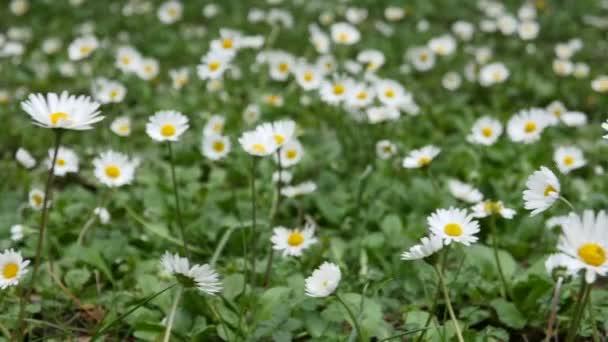 wilde Kamillenblüten auf einem Feld an einem sonnigen Tag
