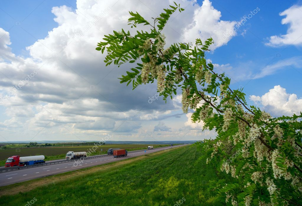 Cars driving on the road along blooming acacia flowers.