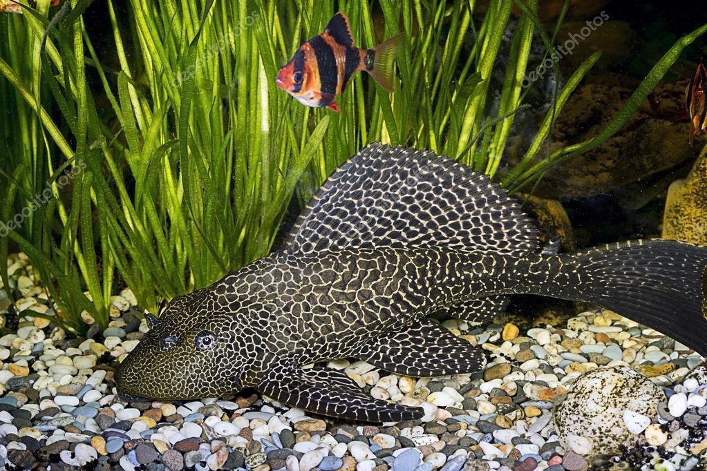 pesce gatto corazzato ancistrus ordinaria ancistrus