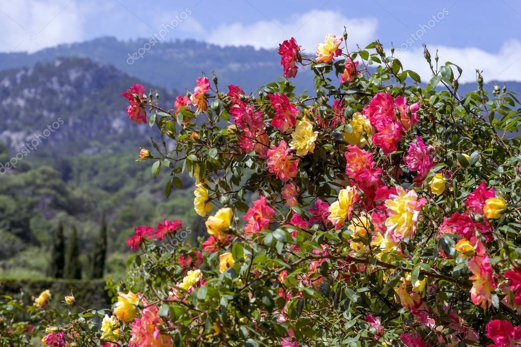 Beautiful Bush of roses on a background  mountains.