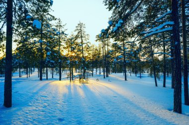 Winter forest ,  sun's rays at sunset.