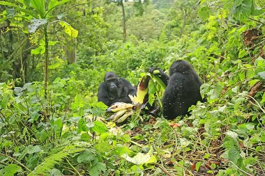 Gorillas in the jungle of Kahuzi Biega National Park, Congo (DRC)