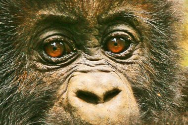 Close up of a young gorilla in the wild (Kahuzi Biega National Park), Congo (DRC)
