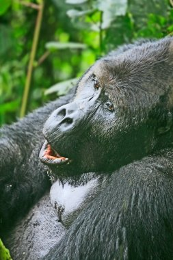 Close up of a silver back gorilla in the jungle of Kahuzi Biega National Park, Congo (DRC)