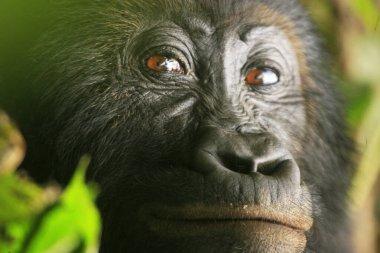 Close up of a gorilla in the jungle of Kahuzi Biega National Park, Congo (DRC)
