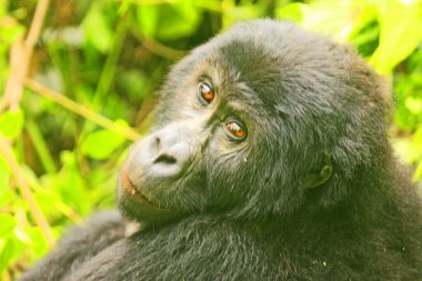 beautiful picture of a gorilla in the jungle of Kahuzi Biega National Park, Congo (DRC)