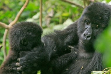 Gorillas (mother and baby) in the jungle of Kahuzi Biega National Park, Congo (DRC)
