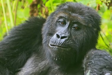 Portrait of a (happy) gorilla (seems like talking and joking) in the jungle of Kahuzi Biega National Park, Congo (DRC)
