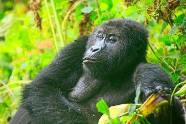 Portrait of a (happy) gorilla in the jungle of Kahuzi Biega National Park, Congo (DRC)