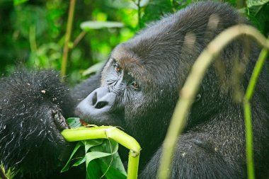 Close up of a gorilla eating bamboo plants in the jungle of Kahuzi Biega National Park, Congo (DRC)