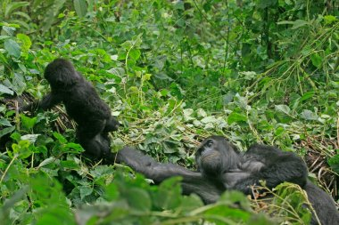 Mother gorilla catching her baby in the jungle of Kahuzi Biega National Park, Congo (DRC)