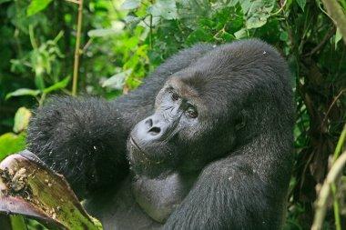 Gorilla in the jungle of Kahuzi Biega National Park, Congo (DRC)