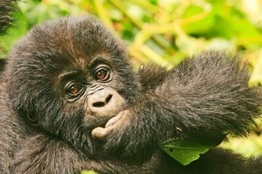 Close up of a baby gorilla in the jungle of Kahuzi Biega National Park, Congo (DRC)