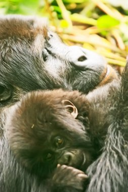 Beautiful close up of a mother and baby gorilla in the jungle of Kahuzi Biega National Park, Congo (DRC)