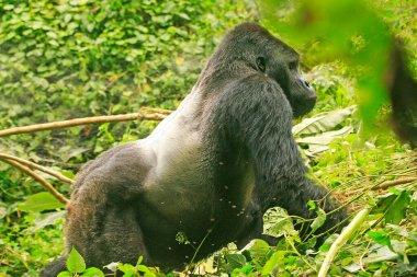Silver Back gorilla in the jungle of Kahuzi Biega National Park, Congo (DRC)