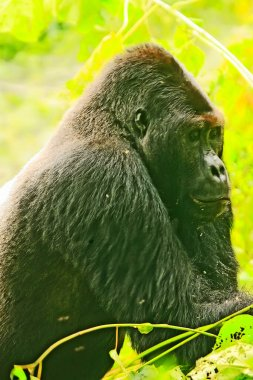 Close up of a gorilla (Silver Back) in the jungle of Kahuzi Biega National Park, Congo (DRC)