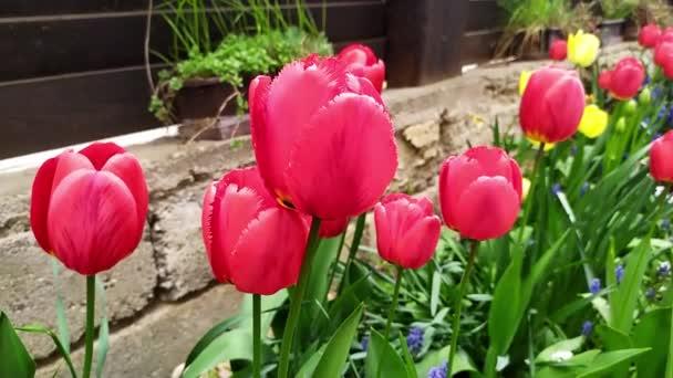 Detailní pohled na krásný tulipán, který se volně pohybuje ve větru v zahradě rodinného domu, v pozadí dřevěný plot, zpomalený pohyb