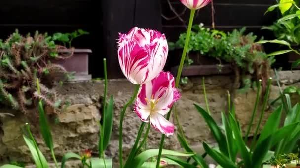 Detailní pohled na krásný tulipán, který se volně pohybuje ve větru v zahradě rodinného domu, v pozadí dřevěný plot a krásný slunečný den, zpomalení, video