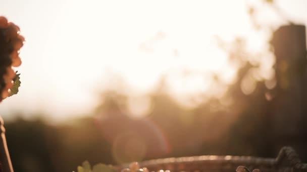 Szőlőt szüretelni egy gyönyörű kosárban